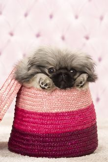 Dog Pekingese 3 month old puppy