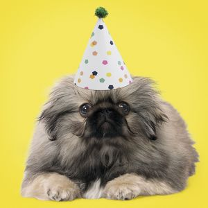 latest images march 2017/dog pekingese puppy 3 months old wearing birthday
