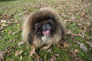 DOG. Pekingese sitting in autumn leaves with its tongue out
