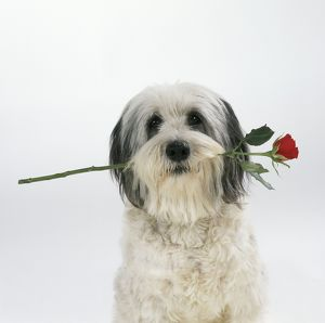 DOG - Polish Lowland Sheepdog with rose in mouth