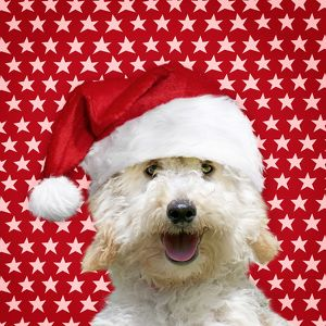 Dog Poodle wearing a Christmas hat with star background