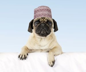 DOG - Pug with paws over ledge wearing hat