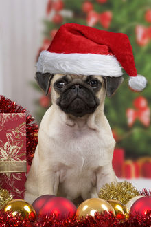 Dog, Pug puppy 3 months old wearing Christmas hat