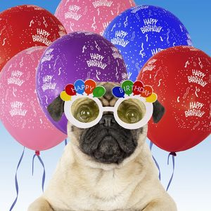 latest images/dog pug wearing happy birthday glasses streamers