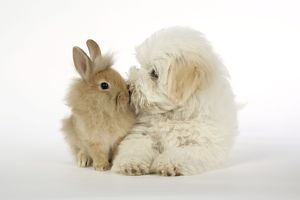 DOG & RABBIT. Coton de Tulear puppy ( 8 wks old ) kissing a lion head rabbit ( 6 wks old )