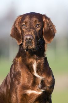 Dog - Red Setter / Irish Setter