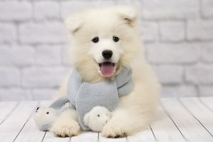 Dog Samoyed 8 week old puppy