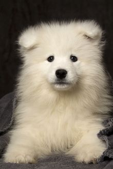 Dog Samoyed 8 week old puppy under blanket