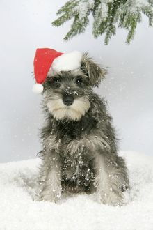 DOG. Schnauzer puppy in snow wearing hat