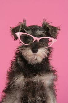 DOG. Schnauzer puppy wearing pink glasses
