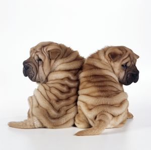 DOG - two Shar Pei puppies sitting, back to back