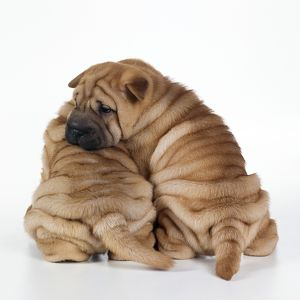 DOG - two Shar Pei puppies sitting, back view