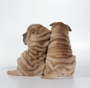 DOG - two Shar Pei puppies, back view