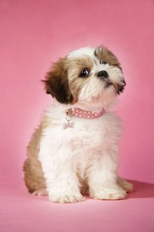 Dog - Shih Tzu - 10 week old puppy with collar