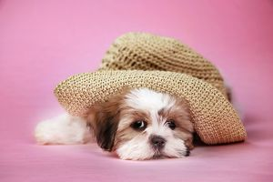 Dog - Shih Tzu - 10 week old puppy under a hat