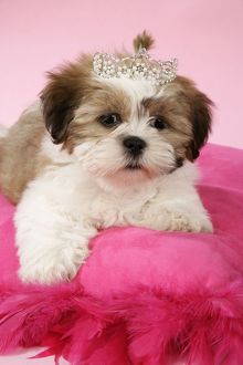 DOG - Shih Tzu - 10 week old puppy on pink cushion wearing tiara