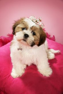 Dog - Shih Tzu - 10 week old puppy wearing a tiara on a pink cushion