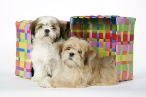 DOG - Shih Tzu & Lhasa Apso (right) puppies by box, 10 & 12 wks old