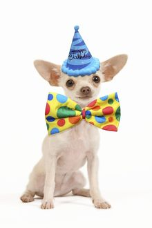 latest images march 2017/dog short haired chihuahua wearing happy birthday