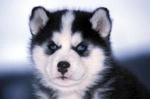 DOG - Siberian Husky puppy, close-up