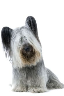 Dog - Skye Terrier