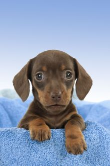 Dog - Smooth haired Dachshund