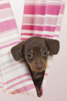 Dog - Smooth haired Miniature Dachshund
