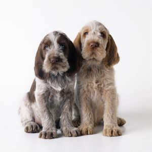Dog - Spinone puppies x2