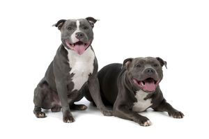 Dog - Staffordshire Bull Terriers laying down