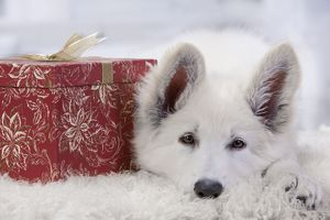 Dog - Swiss White Shepherd Dog - with gift-wrapped present