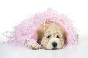 Dog. Teddy Bear dog in pink scarf