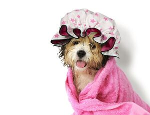 Dog Teddy Bear dog wrapped in a towel wearing a