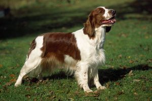 Dog - Welsh Springer Spaniel