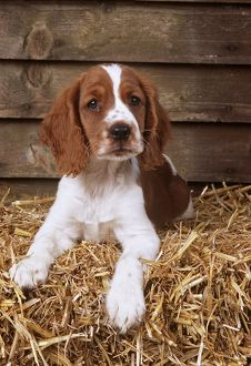 DOG - Welsh Springer Spaniel, Lying on hay