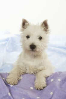 DOG - West Highland White Terrier - looking over edge