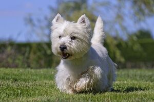 Dog - Westie / West Highland White Terrier - running