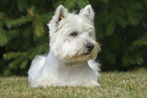 Dog - Westie / West Highland White Terrier
