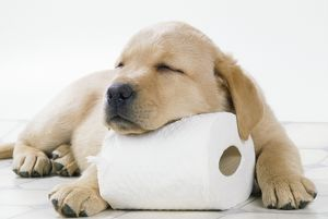 DOG - Yellow labrador puppy asleep on toilet roll, 9 weeks