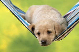DOG - Yellow labrador puppy sitting in hammock (6 weeks)