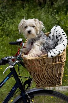 Dog - Yorkshire Terrier in bicycle basket