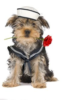 Dog - Yorkshire Terrier holding rose wearing sailor outfit