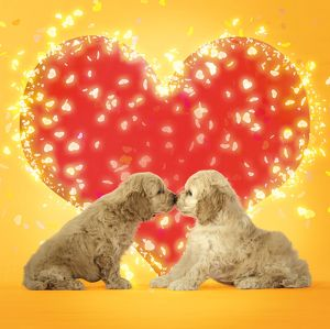 Dogs - Cockerpoo puppies touching noses with red love heart