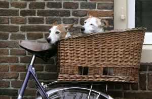 Dogs - Couple of Jack Russell Dogs in basket on bike