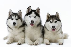 Dogs - Huskies
