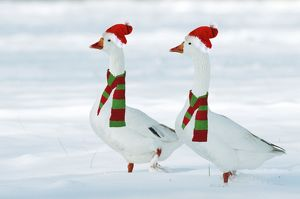 Domectic Geese - two in snow wearing Christmas hats & scarves.Digital