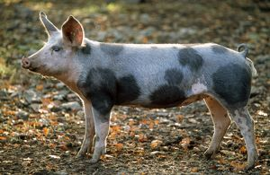 Domestic Bentheimer PIG