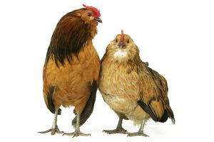 Domestic Chickens