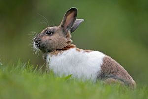 Domestic Rabbit - brown and white sitting in grass