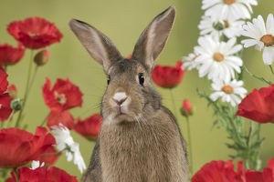 Domestic Rabbit amongst flowers and red Poppies