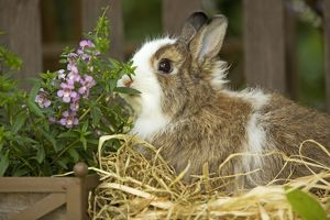 Domestic Rabbit -sniffing flowers